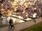 夕日に透かされる桜花@加茂川