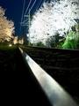 光のレール@嵐電桜のトンネル