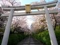 桜咲く宗忠神社参道
