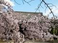 桜の真如堂