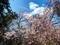 折れてなお咲くエドヒガン桜3@瓜生山