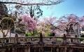 桜咲く北白川天神宮