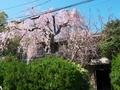 桜咲く銀月アパートメント@北白川