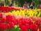 チューリップ満開@京都府立植物園