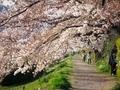 加茂川桜並木道
