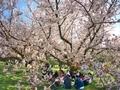 満開の山桜の下で@京都御苑