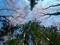 大文字山に咲く山桜
