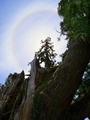 一本杉に架かる光輪@比叡山