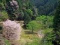 山桜を俯瞰する@比叡山