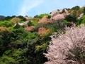 萌えいづる春の山@比叡山