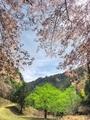 新緑彩る山桜@比叡山