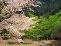 山桜と新緑@比叡山