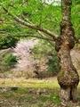ヤシャブシ古木と山桜@比叡山