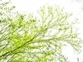カツラ新緑2