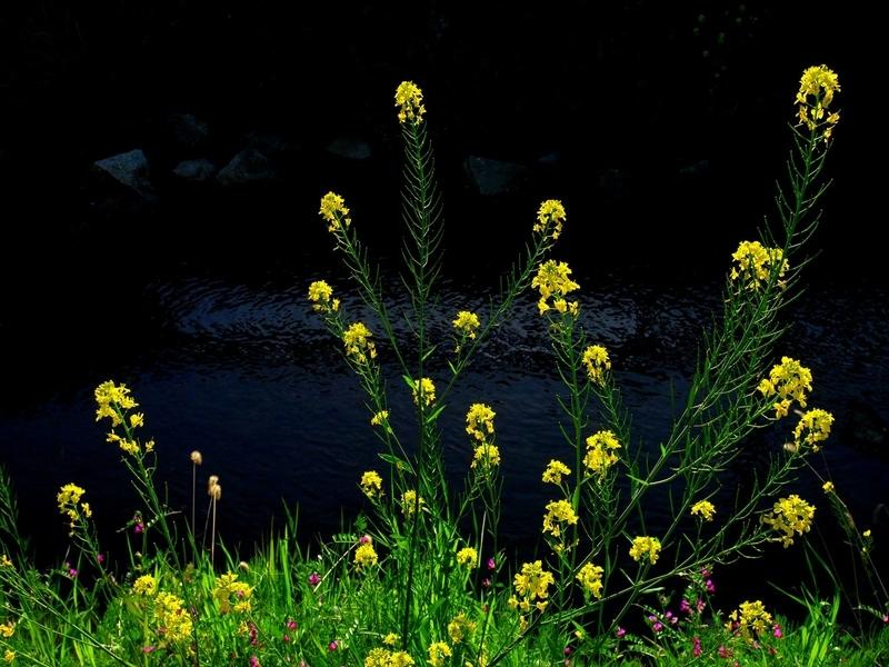 川べりに咲く菜の花@岩倉
