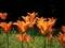 情熱的に咲くチューリップ@京都府立植物園
