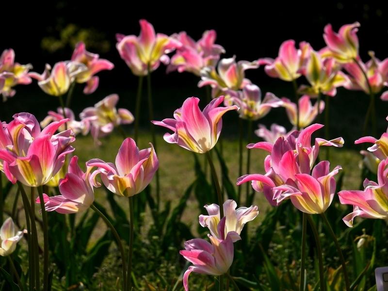 華麗に咲くチューリップ@京都府立植物園