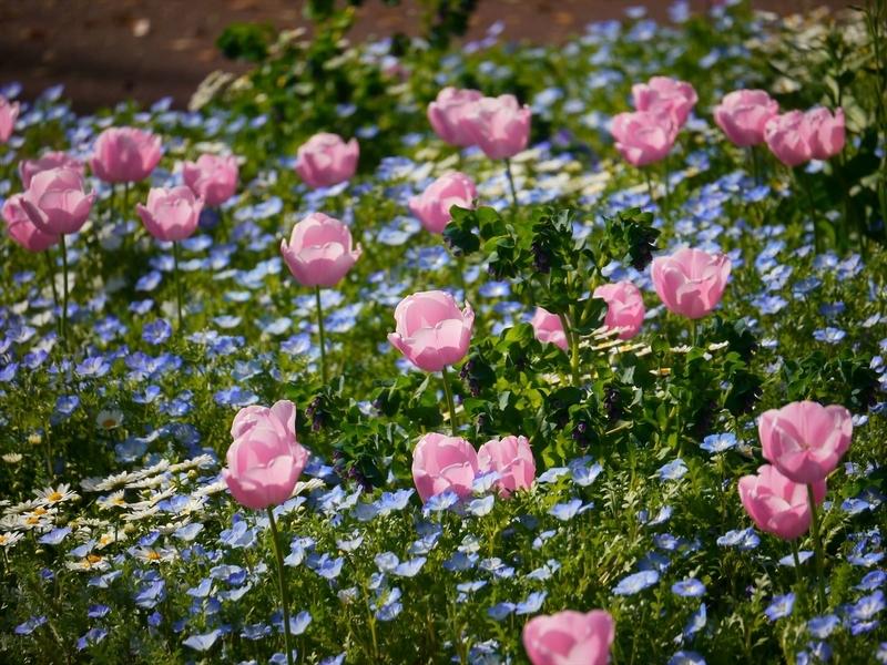 ルリカラクサとチューリップ@京都府立植物園