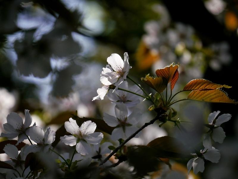 純潔の桜花@京都府立植物園