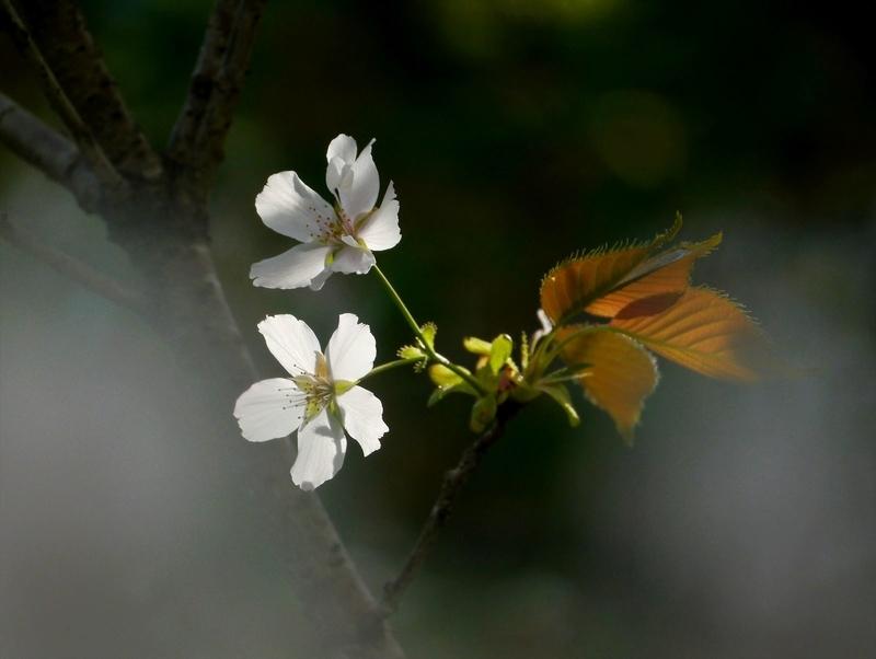 純潔の桜花2@京都府立植物園