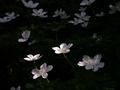 白く浮かび上がるイチリンソウ@京都府立植物園