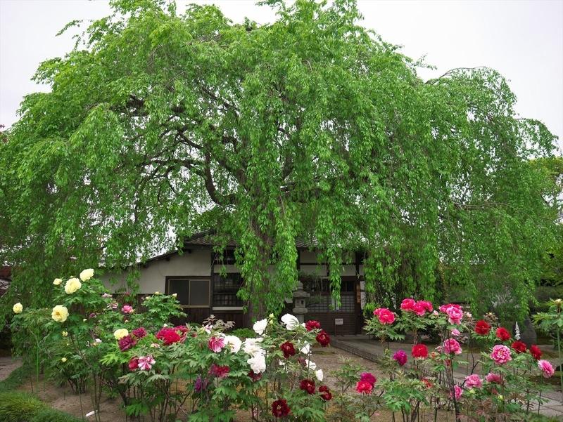 桜が終わりボタンの季節@本満寺