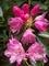 シャクナゲ~蕾から開花まで@天ヶ岳シャクナゲ尾根