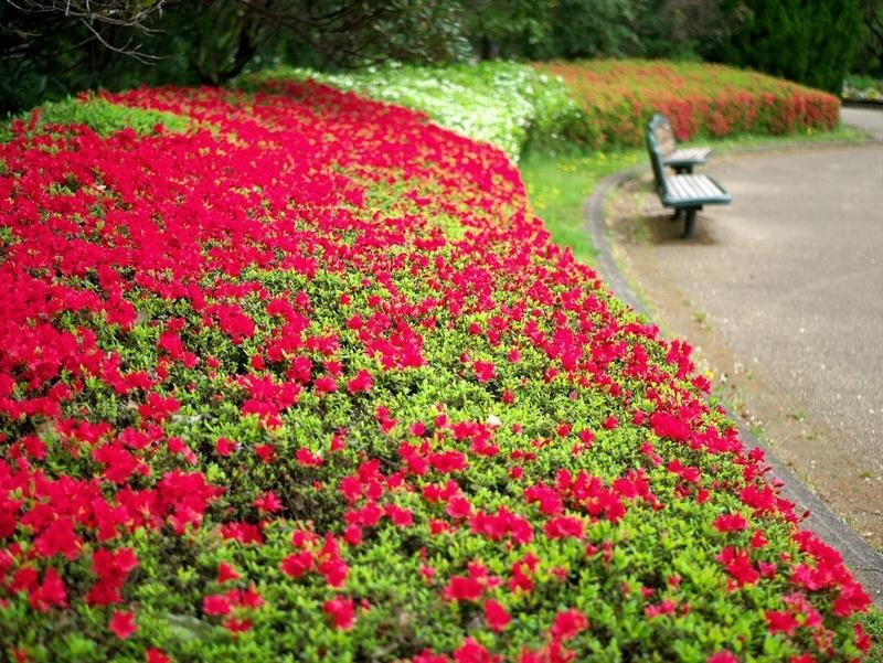 ツツジ2@京都府立植物園