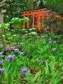 上御霊神社に咲くイチハツ