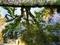 フウ巨木リフレクション@京都府立植物園