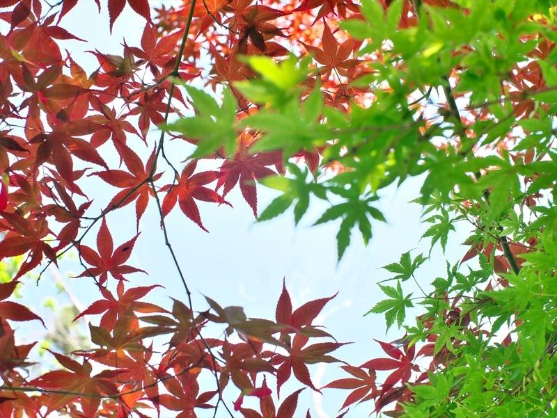 赤楓vs青楓@京都府立植物園