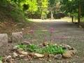 ひっそりと咲くクリンソウと石鳥居@比叡山
