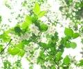 エゴノキ@京都府立植物園