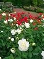 紅白のバラ@京都府立植物園