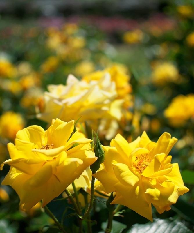 黄色のバラ@京都府立植物園