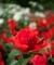 深紅のバラ@京都府立植物園