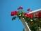 青空に映えるバラ@京都府立植物園