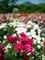 バラ園(背景比叡山)@京都府立植物園