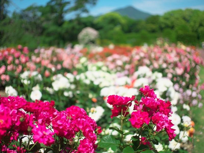 バラ園(背景比叡山)2@京都府立植物園