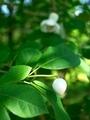 白玉(オオバオオヤマレンゲ)@京都府立植物園