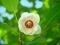 オオバオオヤマレンゲ@京都府立植物園