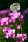 タンポポとイモカタバミ@京都府立植物園