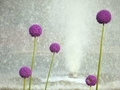 紫の球体@京都府立植物園