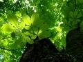 トチの木の下で@京都府立植物園