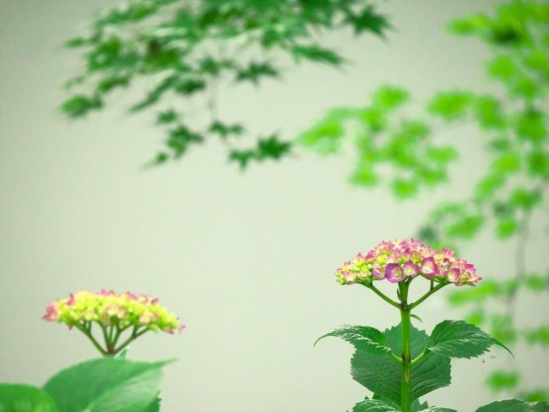 紫陽花@真如堂
