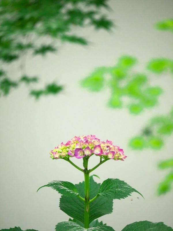 紫陽花2@真如堂