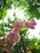 ホタルブクロの袋の中@京都府立植物園