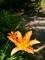 日を浴びるノカンゾウ@京都府立植物園