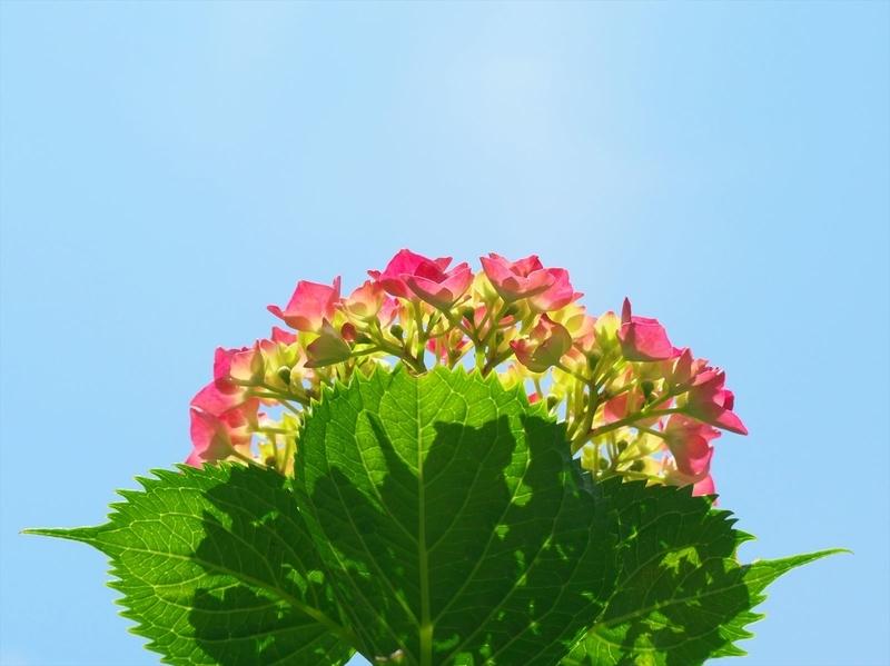 青空に紫陽花@京都府立植物園