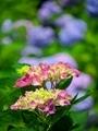紫陽花2@京都府立植物園